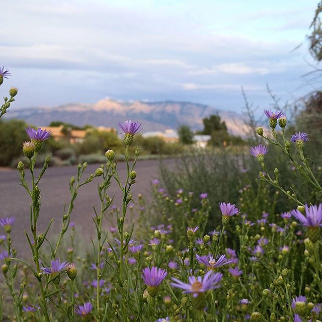 A look at our #inspiration here at #southwesthorticulture The #desert around #Albuquerque is full of color right now. Get out and explore the foothills and the mesa, take some pictures, generate some ideas and let us help make your landscape reflect the #natural beauty of this land. The pictured #plant is the #fall booming purple #aster and it's thriving on #rain water alone. #botany #garden #natural #gardening #flora #botany #nature #southwest #horticulture #Albuquerque #newmexico #landscapedesign #landscape #landscapes #landscaping #nativeplants #xeriscape
