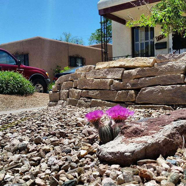 This #Echinocereus #cactus loves heat. We surrounded these beauties with decorative #stones throughout the #landscape to add natural interest and radiate heat for the #cacti during the cold #Albuquerque winters. Now they're #blooming beautifully! #albuqerquelandscaping #southwesthorticulture #native #plants #southwest