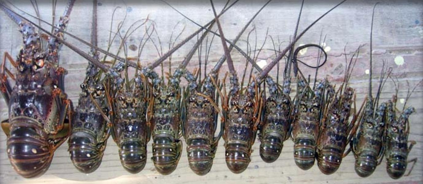 Poached lobster, photo courtesy of  Roatan Marine Park