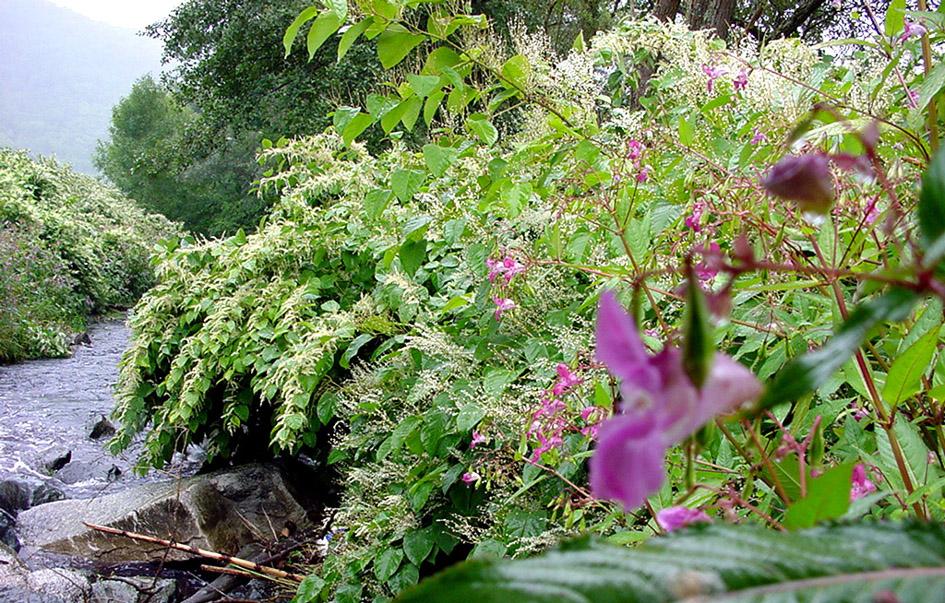 Berges d'une rivière colonisées par la renouée du Japon (fleurs blanches) et l'impatiente glanduleuse (fleurs roses). ©Lamiot