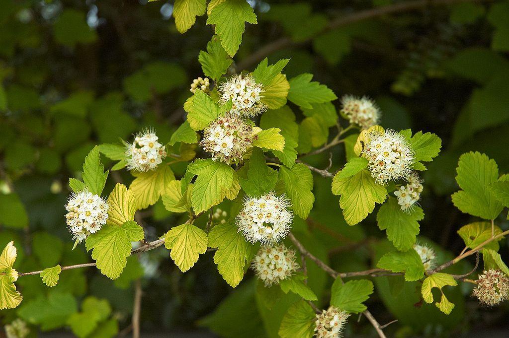 Physocarpe à feuilles d'obier - Physocarpus opulifolius(zone ensoleillée seulement)