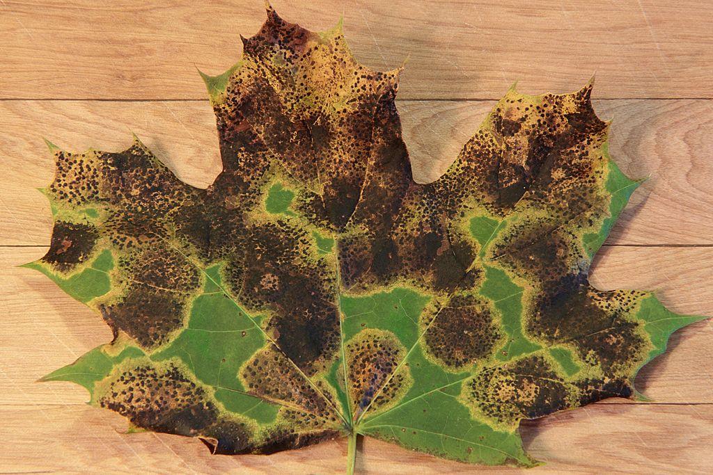 - Souvent porteur du champignon qu'on appelle tache goudronneuse de l'érable (Rhytisma acerinum).