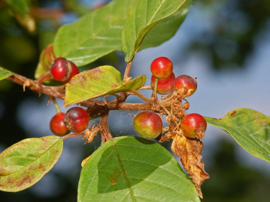 - Arbuste buissonnant de 3 à 6 m.Jeunes rameaux pubescents (avec des poils) roux.Fruits :- Noirs (passant par le rouge) à l'aisselle des feuilles.-Persistent l'hiver.