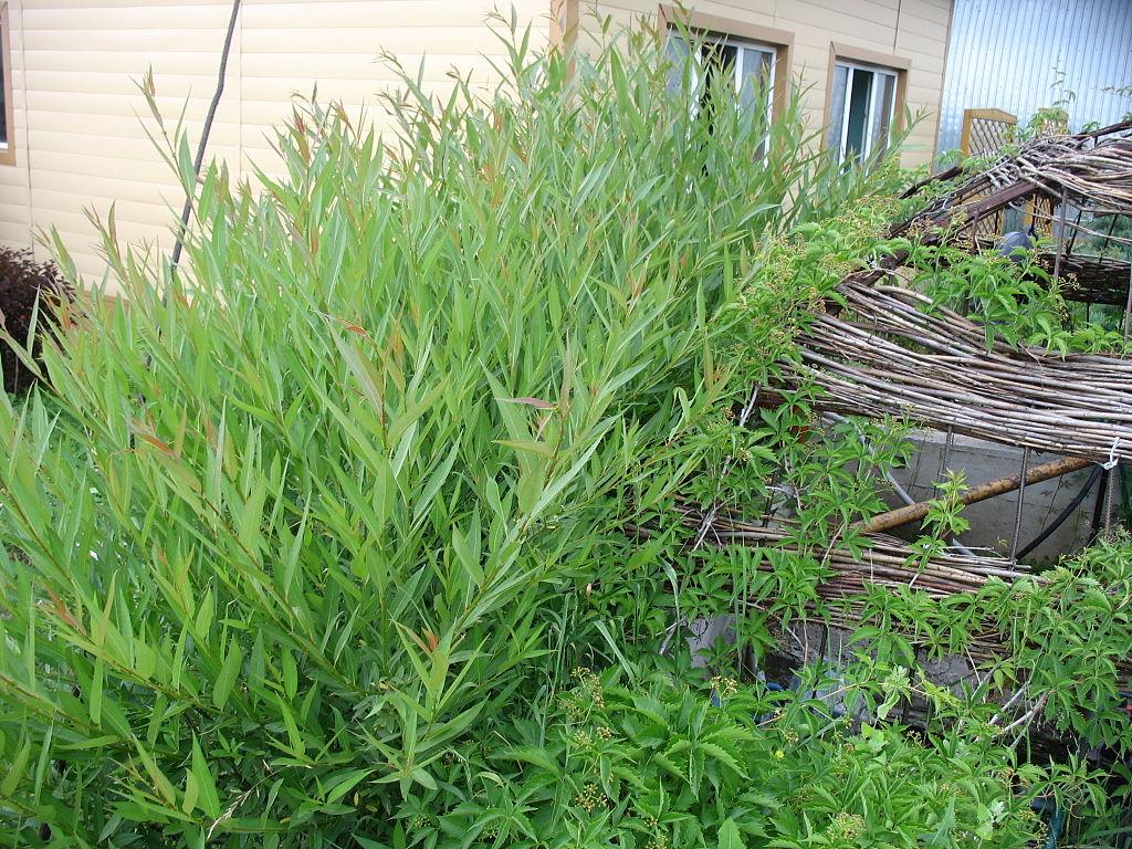 Saule miyabeana - Salix miyabeana (non-indigène)