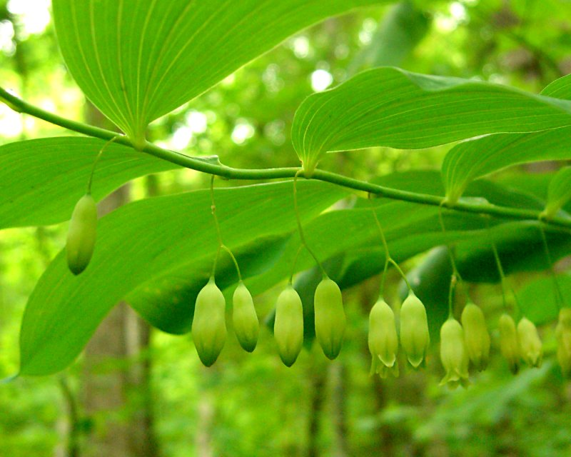 Sceau-de-Salomon pubescent - Polygonatum pubescens