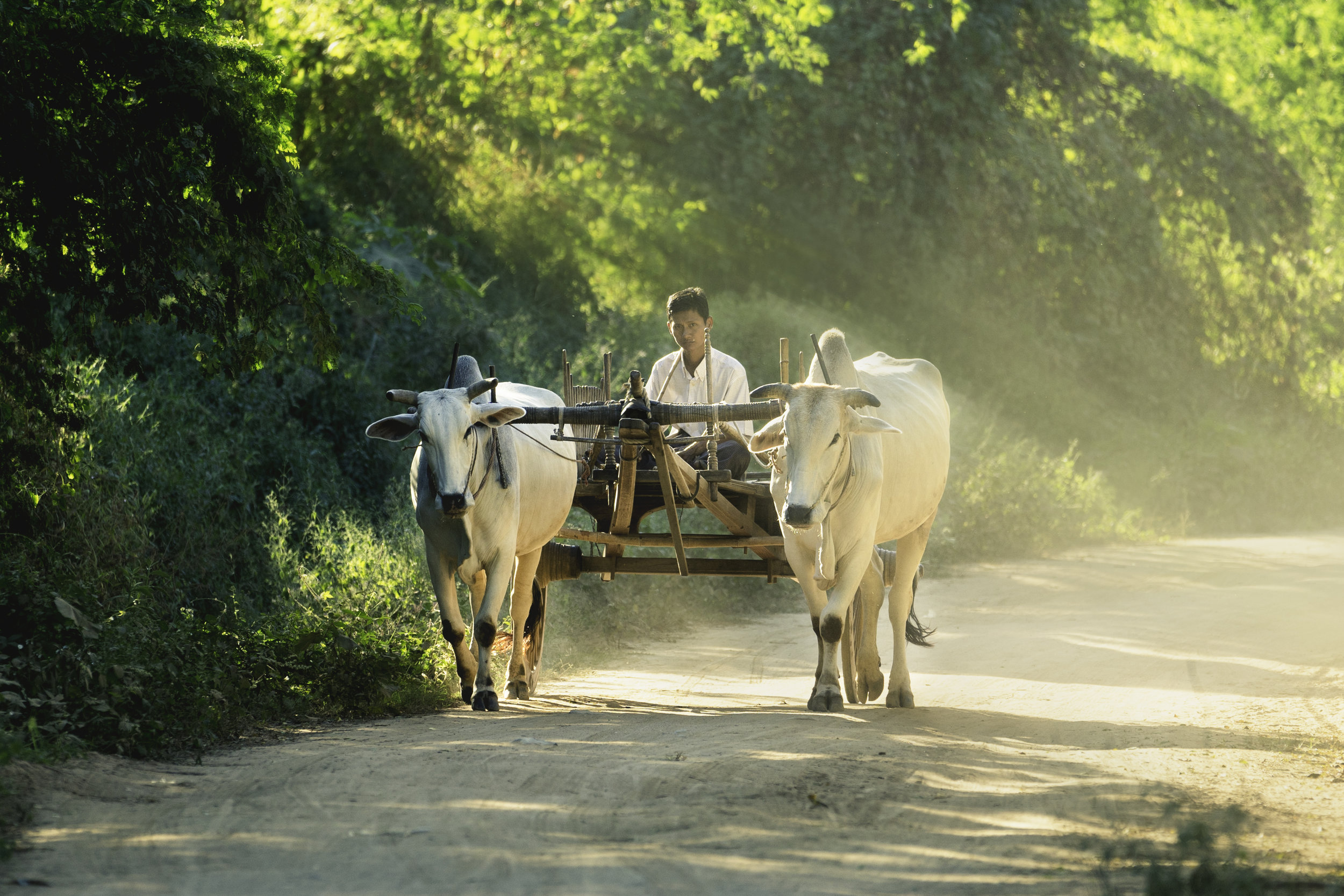 People of Bagan.  A villager coming home on an oxcart.