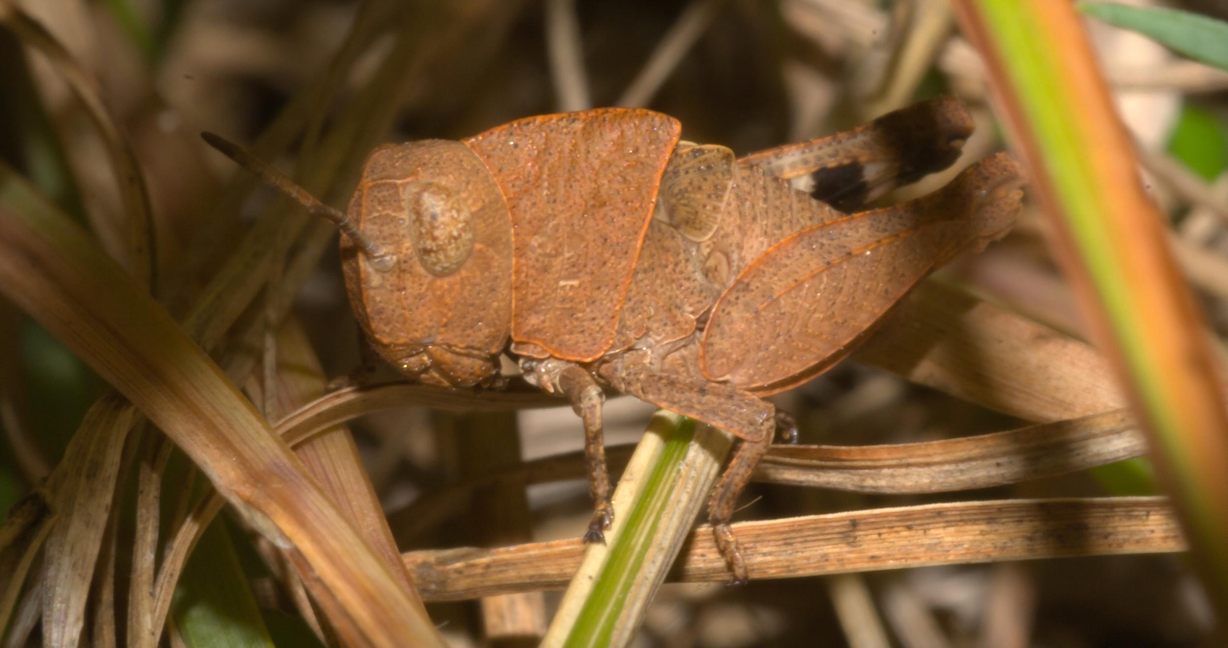 Autumn Yellow-winged Grasshopper - Species: Arphia xanthoptera