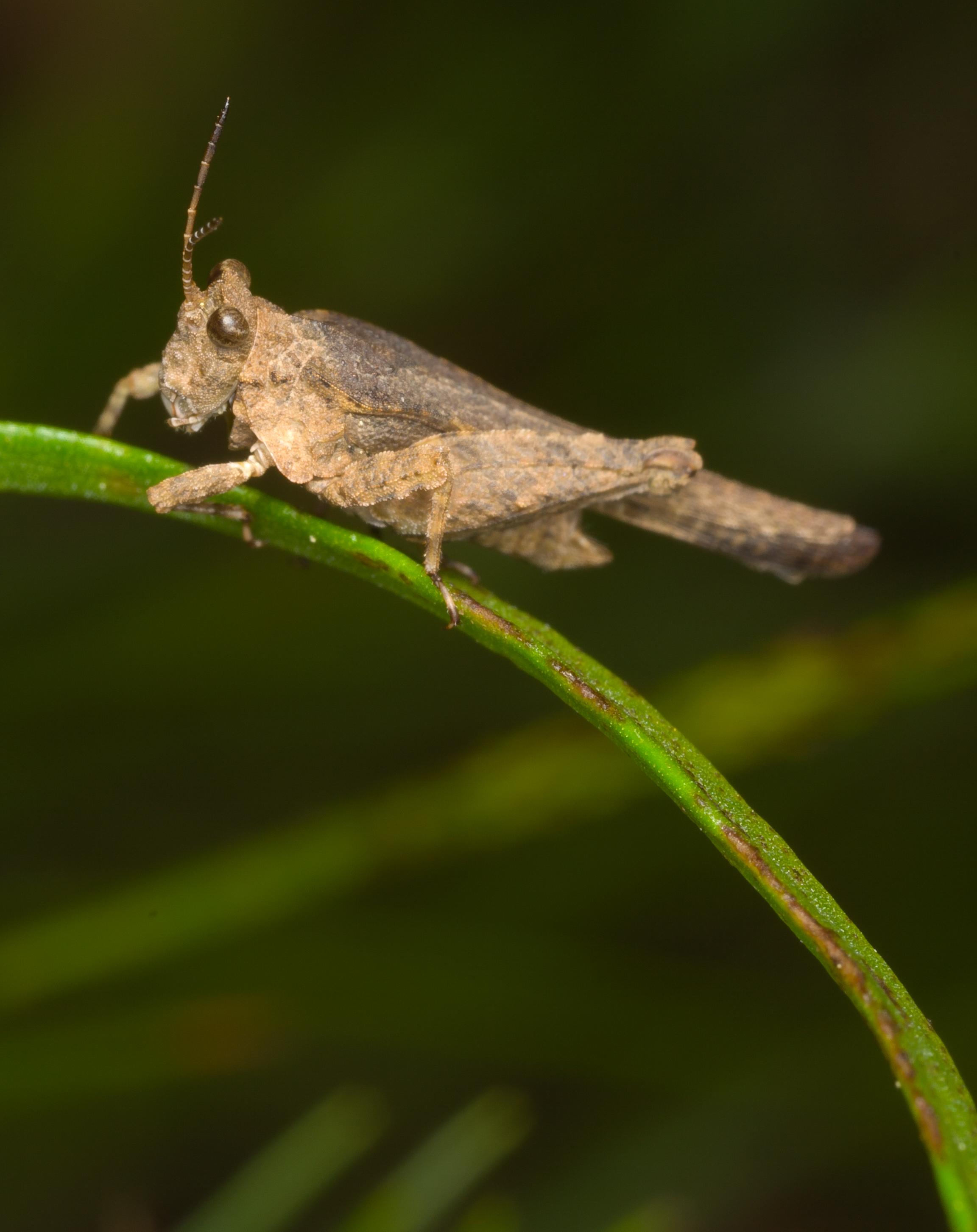 Obscure Pygmy Grasshopper - Species: Tetrix arenosa