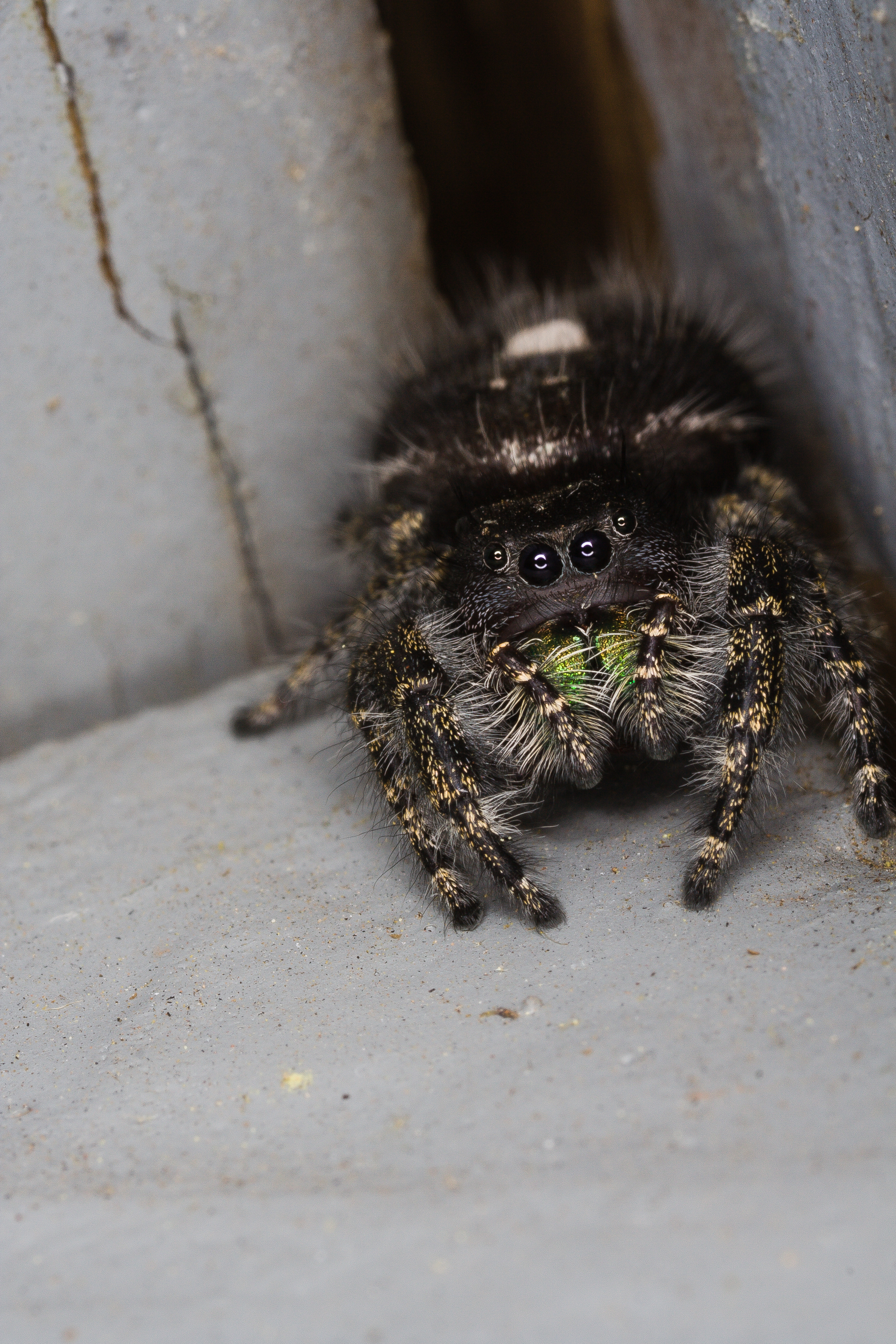 Bold Jumping Spider - Species: Phidippus audax