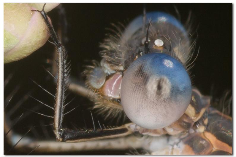Dragonflies, Damselflies and Mantids