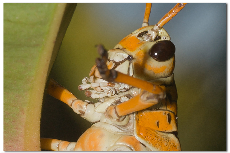 Grasshoppers and Katydids