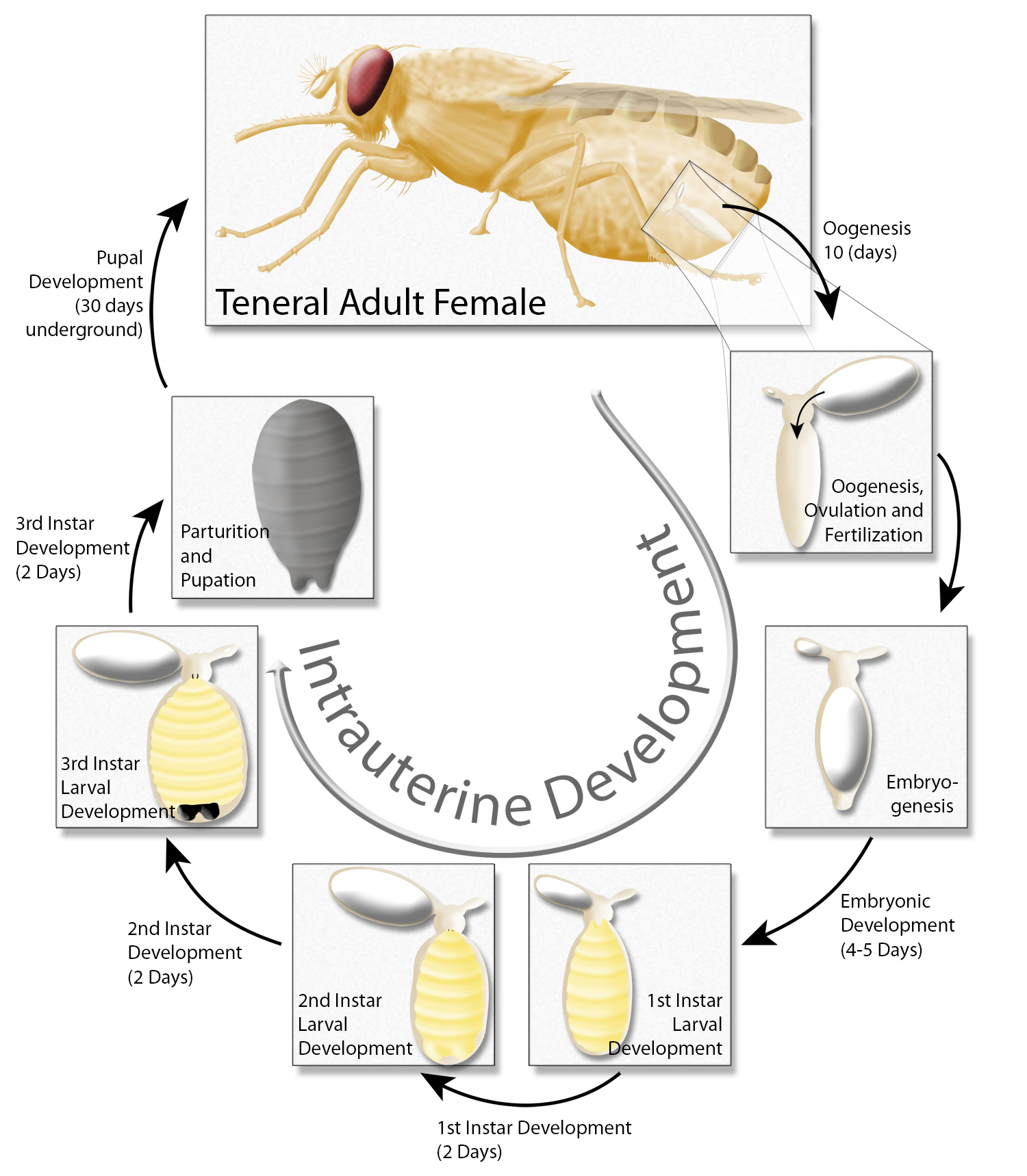 Tsetse reproductive cycle and intrauterine larval development