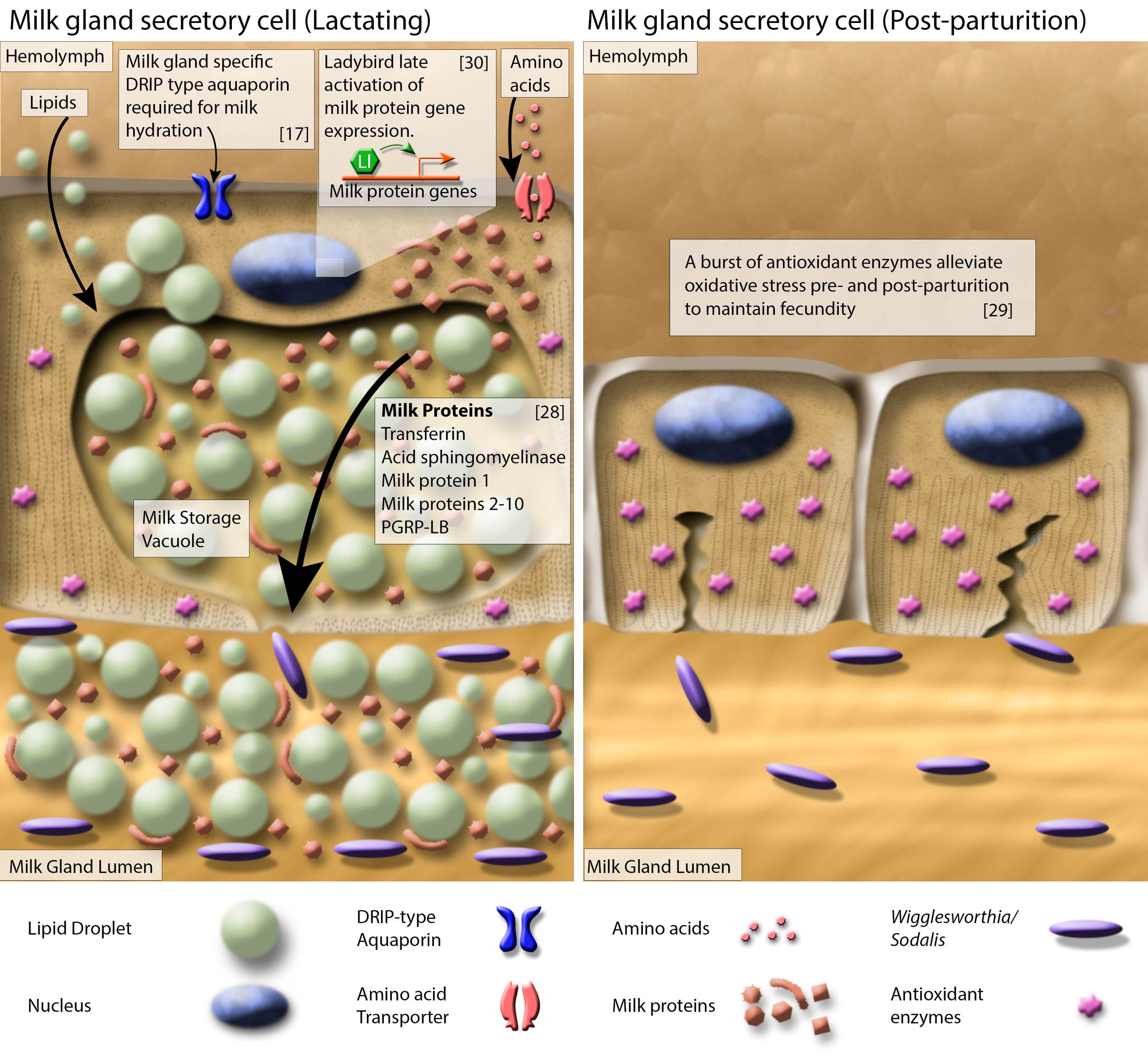 Diagrammatic presentation of milk gland secretory cell physiology and milk production during lactation and after parturition