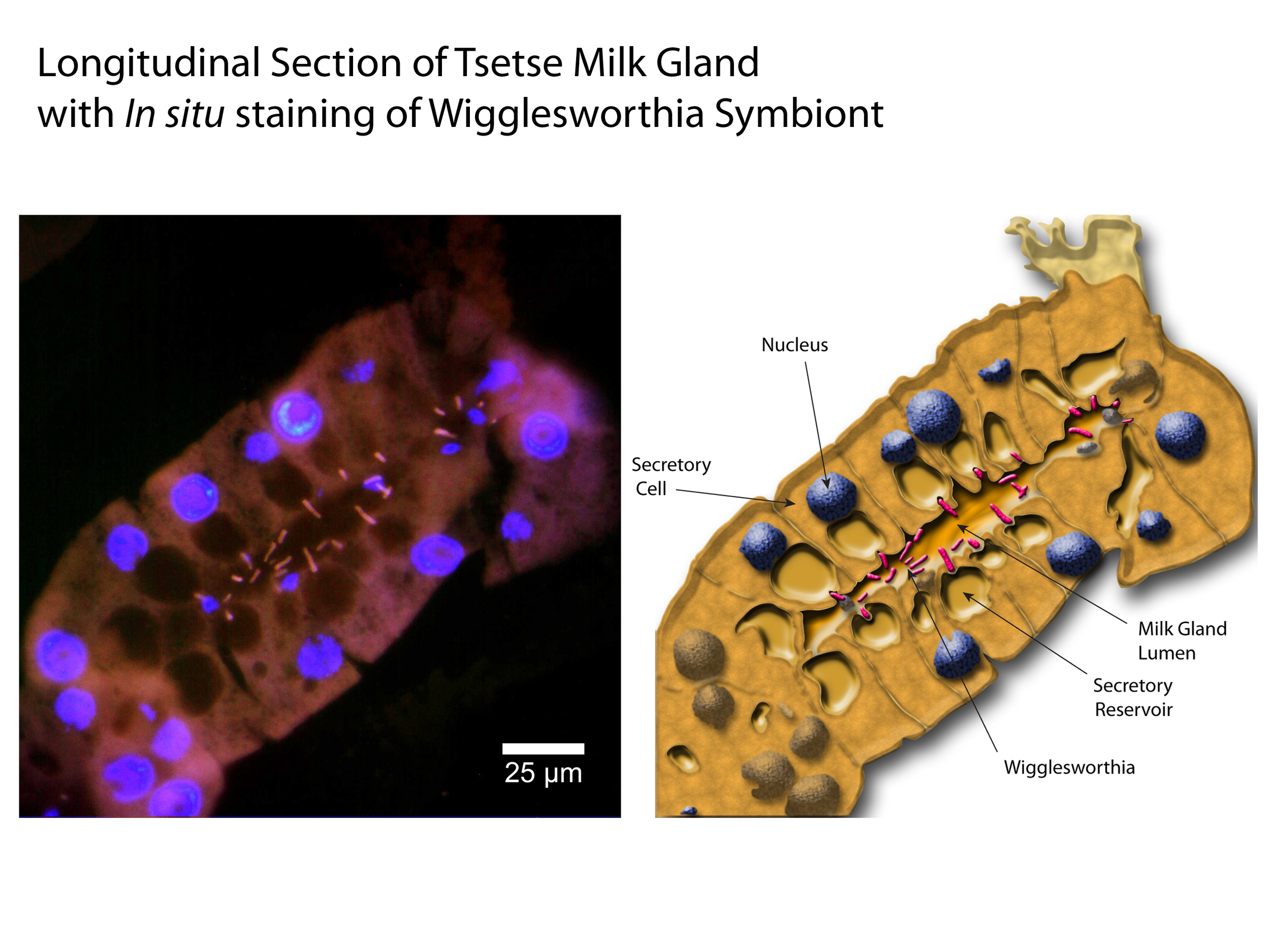 In situ Staining of the Wigglesworthia Symbiont in Tsetse Milk Gland Tubules