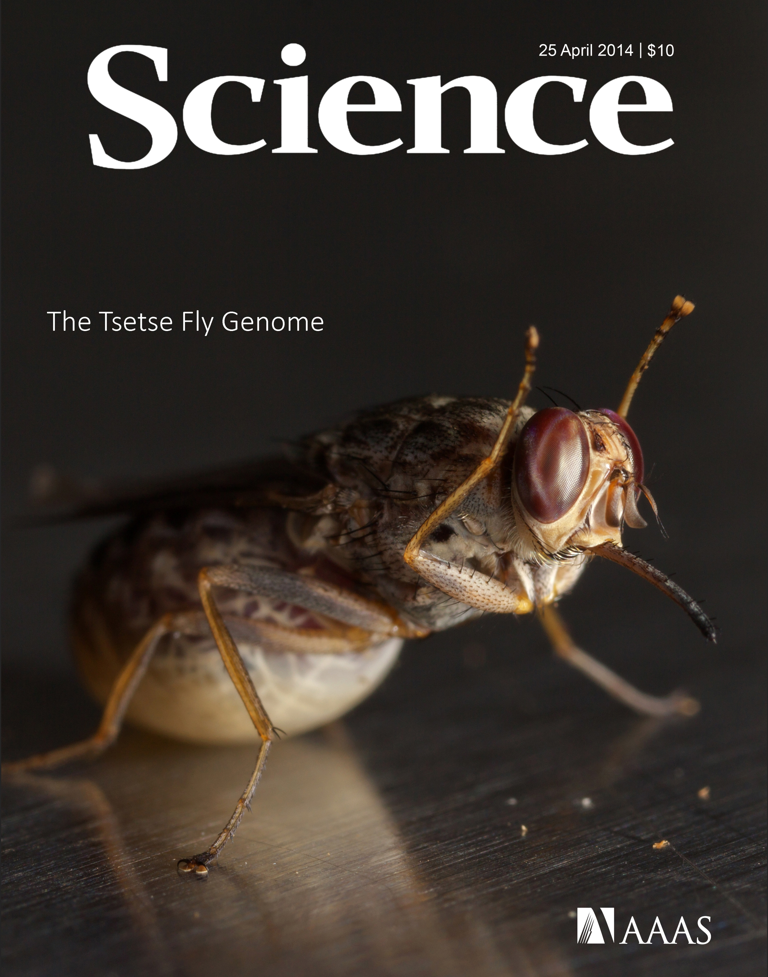 Science Cover for the Tsetse Fly Genome Paper