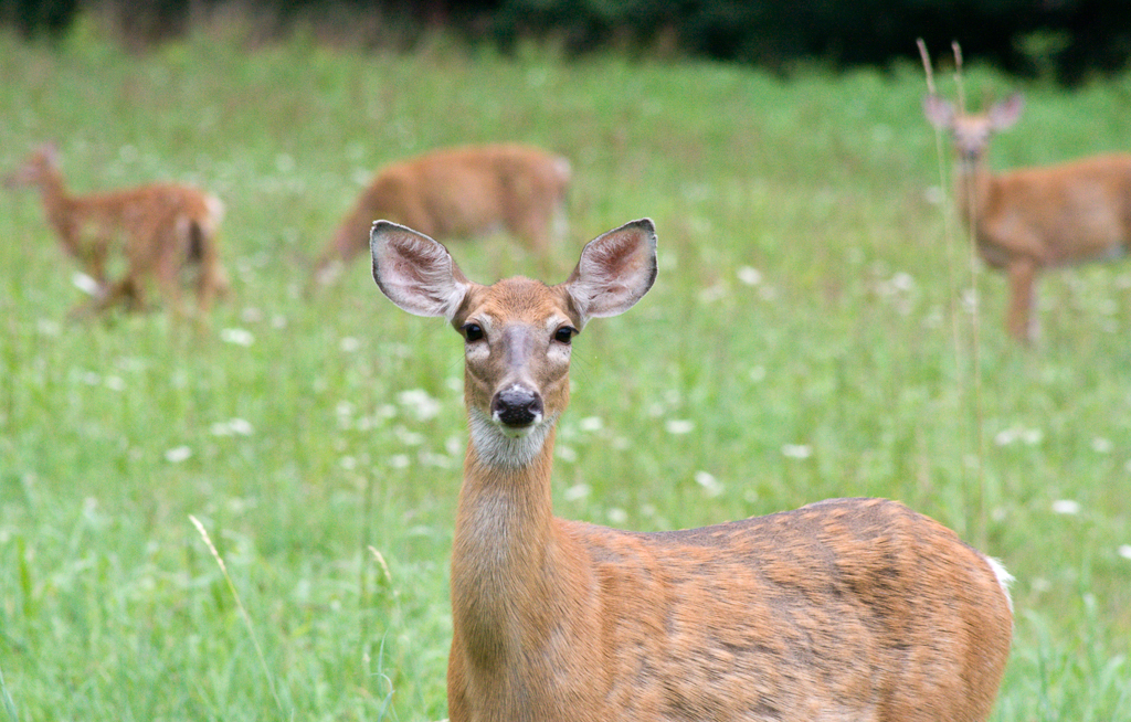 Four deer standing in a field of tall grass, one deer in the center of the image stares directly into the camera.