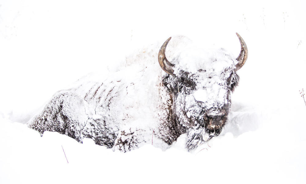 Image Description: A bison buried in the snow, it's fur is covered in snow and it's form can barely be distinguished except for it's eyes and horns.