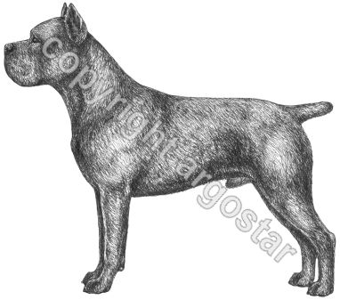 Breed study Cane Corso - Privately commissioned