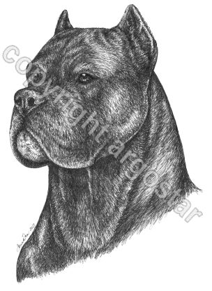 Head study Cane Corso - Privately commissioned
