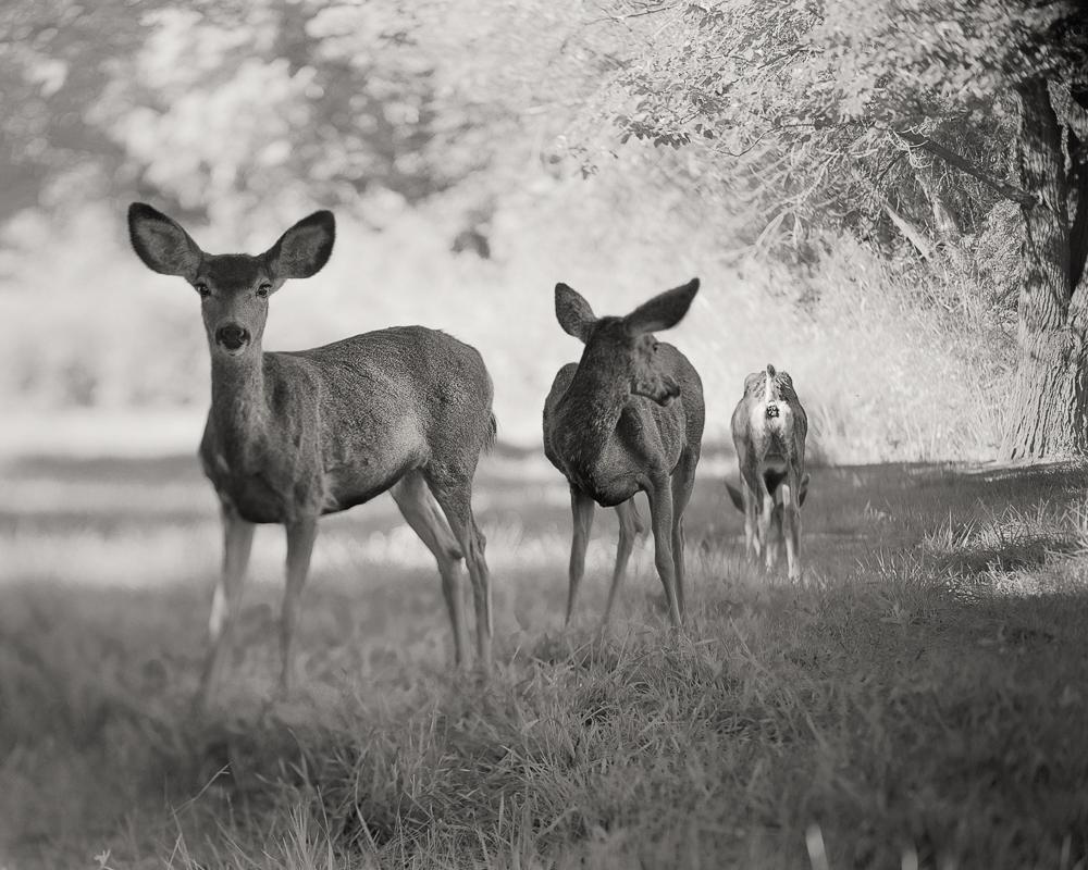 3 Deers_JCEpong_2014.jpg