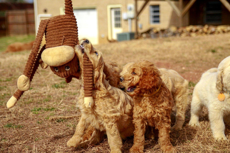Faq Harmony Goldendoodles