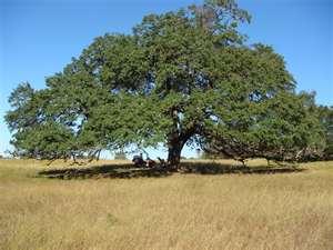 mighty-live-oak.jpg