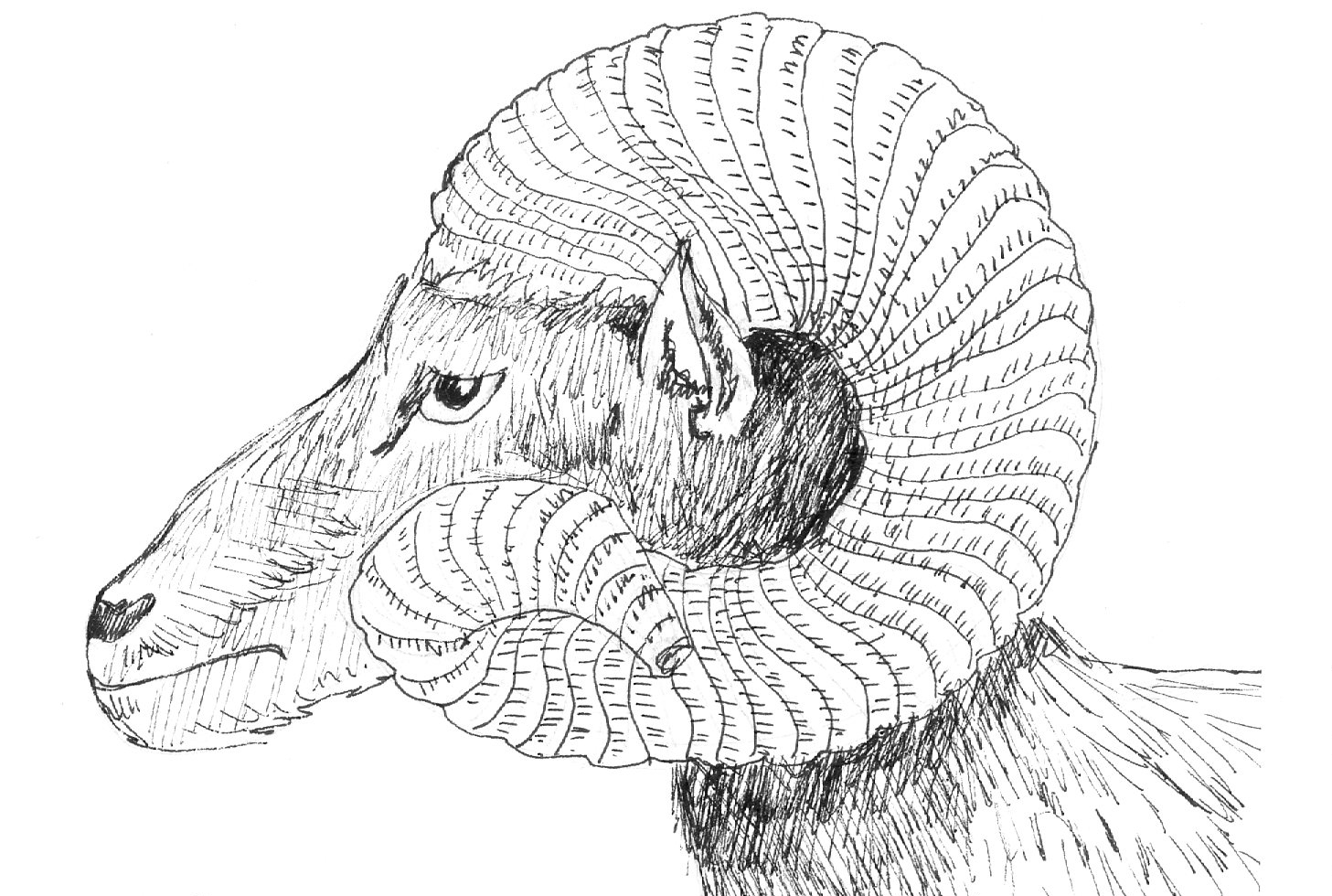 ram_sheep