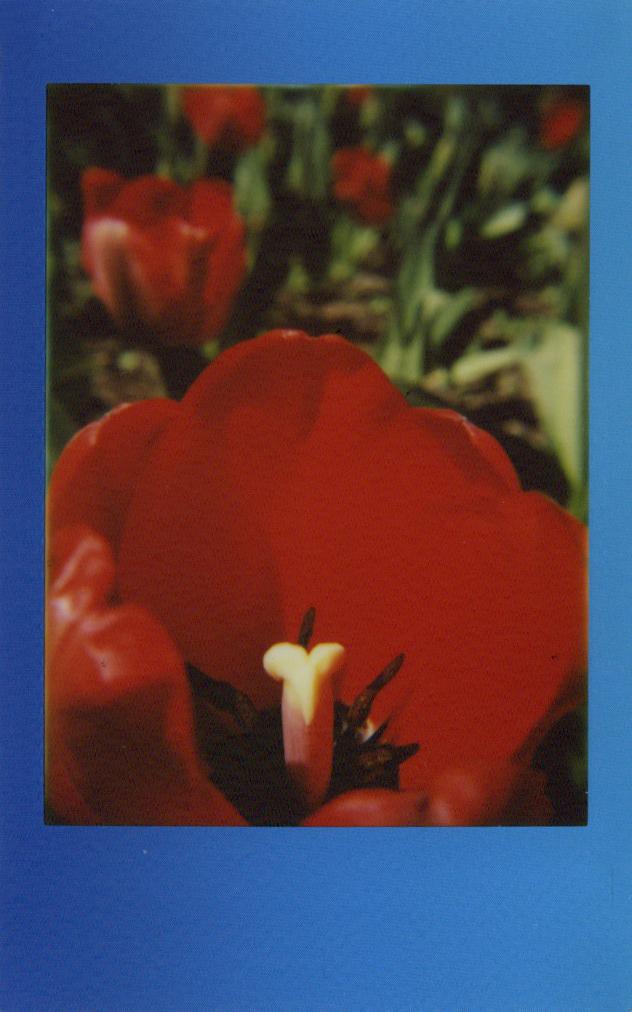 tulip_center.jpg