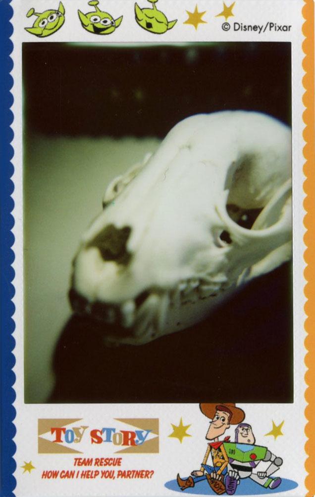 racoon_skull.jpg