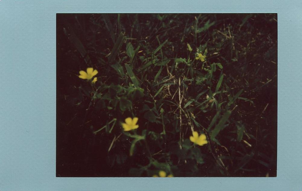 buttercups.jpg