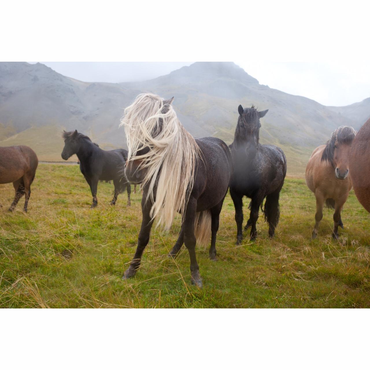 Katrina Jane Perry_Iceland_horse16_1.JPG