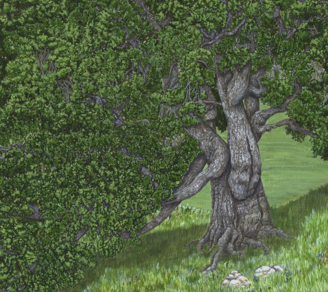 Detail of Coast Live Oak