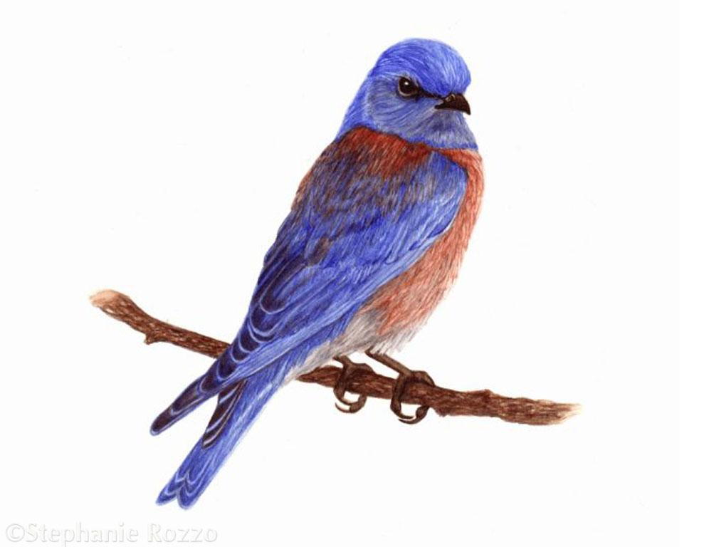 Copy of Western Blue Bird