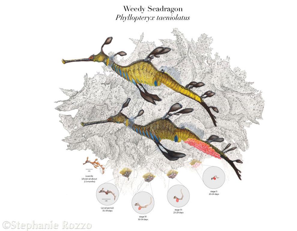 Copy of Weedy Seadragon Life Cycle