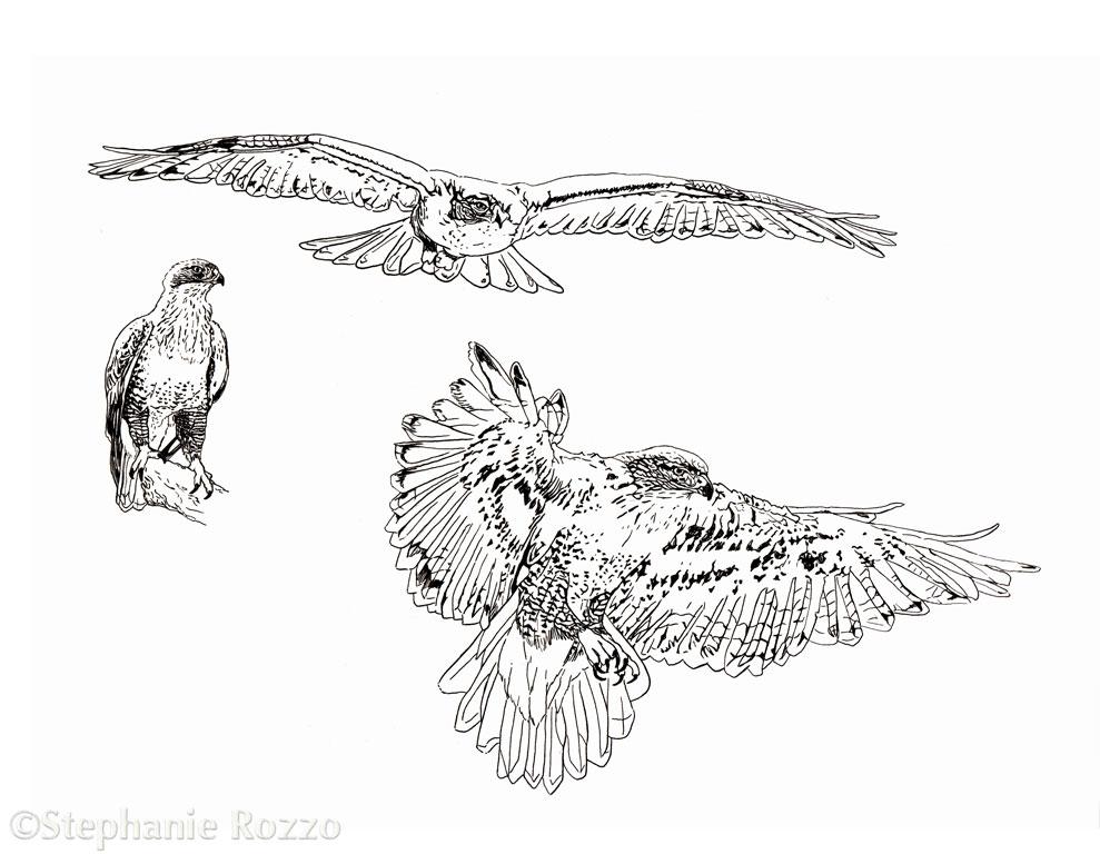 Copy of Ferruginous Hawk