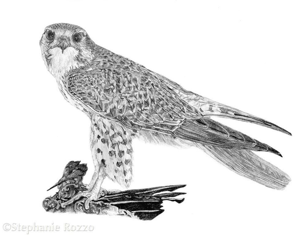 Copy of Prairie Falcon