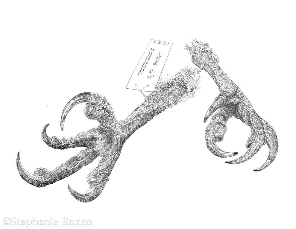 Copy of Swainson's Hawk Talons