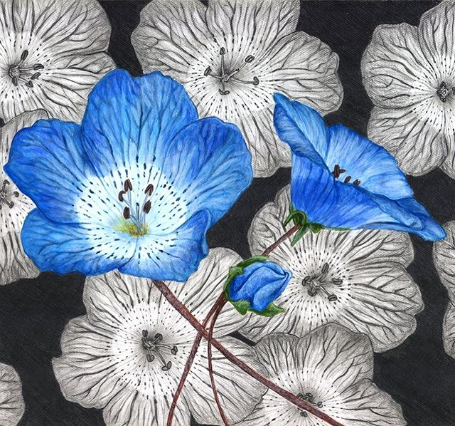 It's National Wildflower week! To kick it off, here is my acrylic and graphite painting of CA native Baby Blue Eyes(Nemophila menziesii) #wildflowerweek #nationalwildflowerweek #mixedmediabotanical