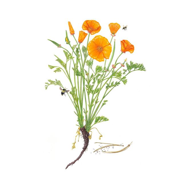 I love pollinators and flowers! To continue celebrating National Wildflower Week, here is my gouache painting of a California Poppy(Eschscholzia californica) and bee pollinators.  Please consider planting native wildflowers in your garden! They attract pollinators that can keep threatened plant species alive, and attract them to food crops that are pollinator dependant.#wildflowerweek #nationalwildflowerweek #gouachebotanical