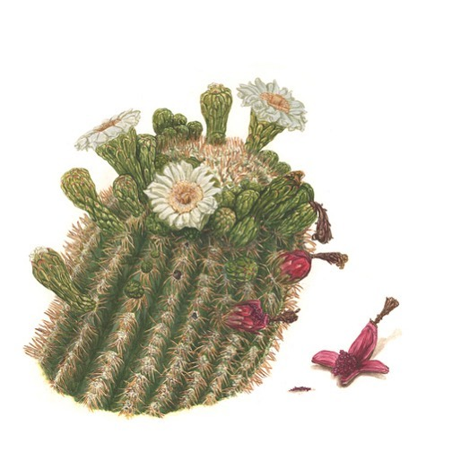 Today for National Wildflower week I'm sharing my watercolor painting of a Saguaro(Carnegiea gigantea). Wildflowers are extremely easy to grow. They are low-maintenance in almost any sunny spot and need little water once established. #wildflowerweek #nationalwildflowerweek #watercolorbotanical