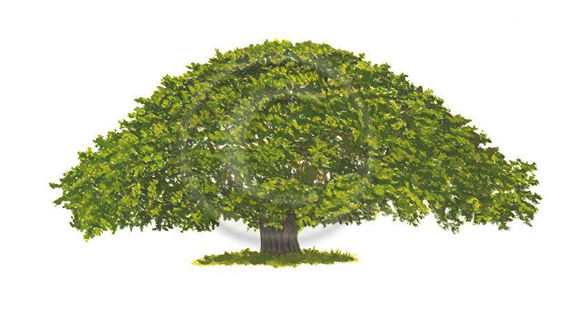 _Guanacaste-Tree-final-2.2-web.jpg