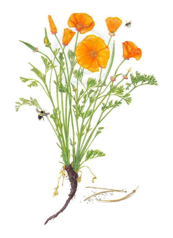 bee-poppies.jpg