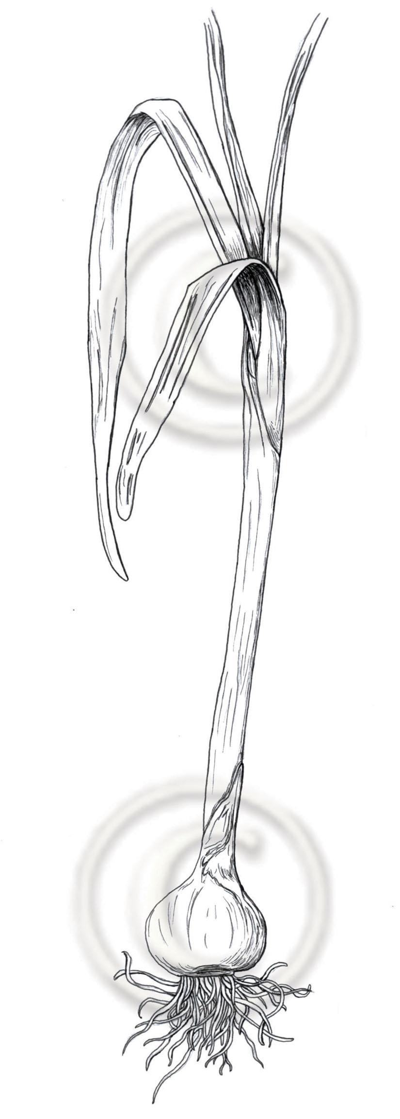 onion web.jpg