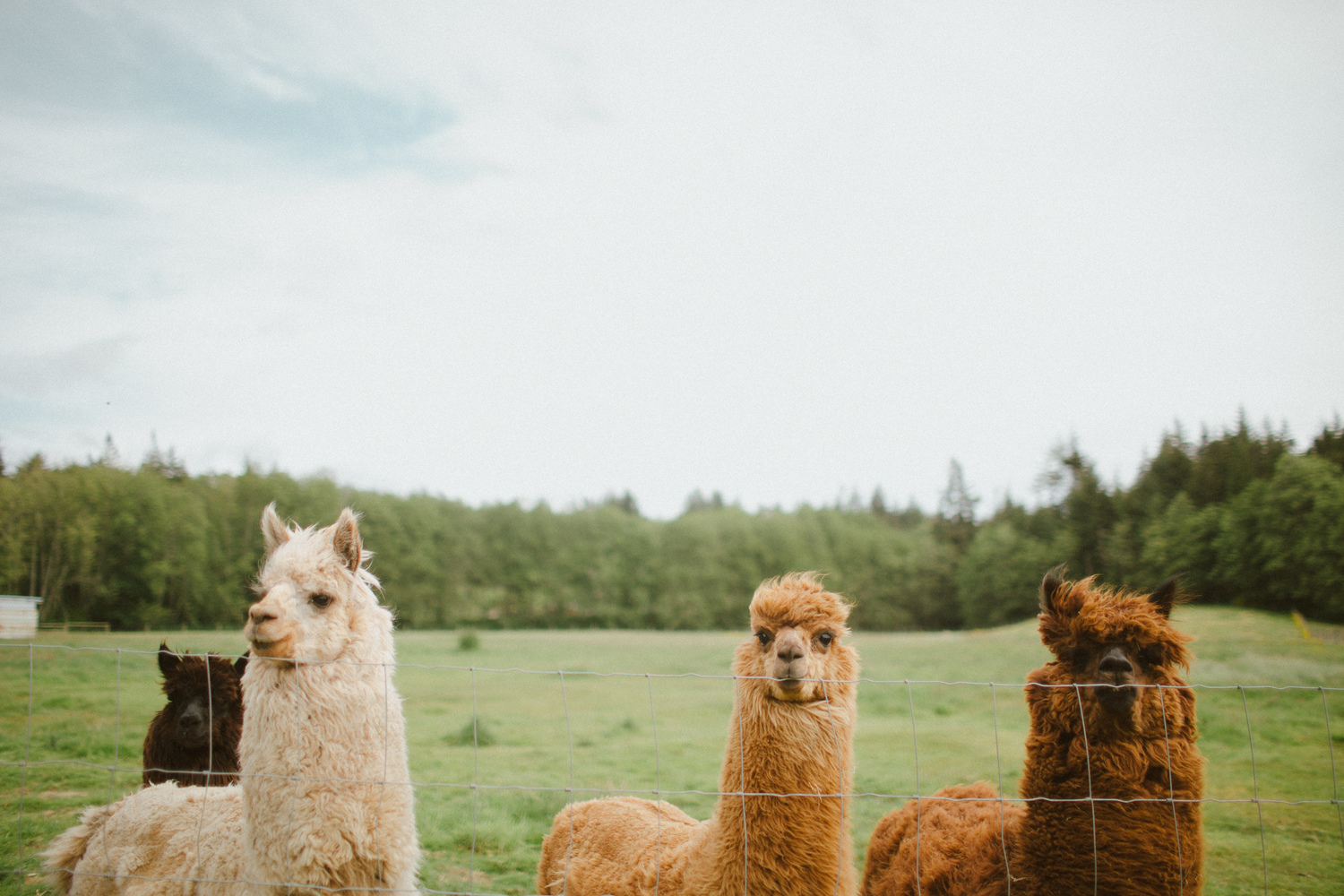 Hanahlie's Alpacas! Image captured from http://www.hinterlandfarm.ca