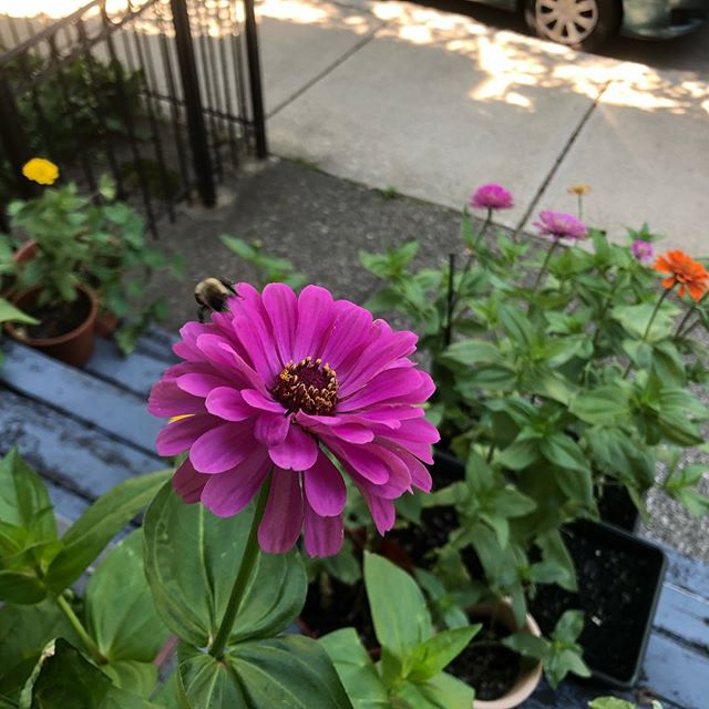 Zinnias blooming on the CZC front steps 🌸🌸🌸