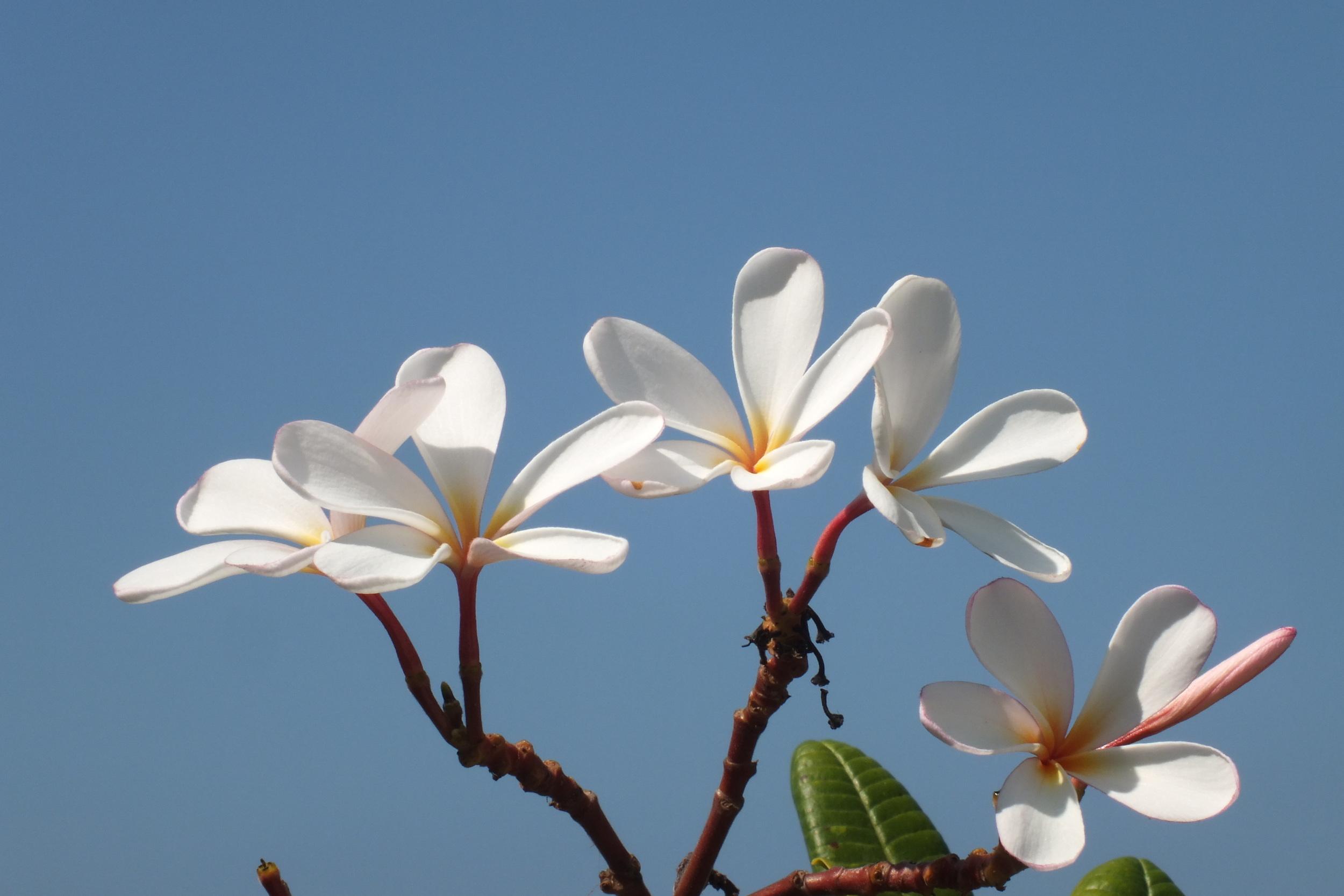 White plumeria.JPG