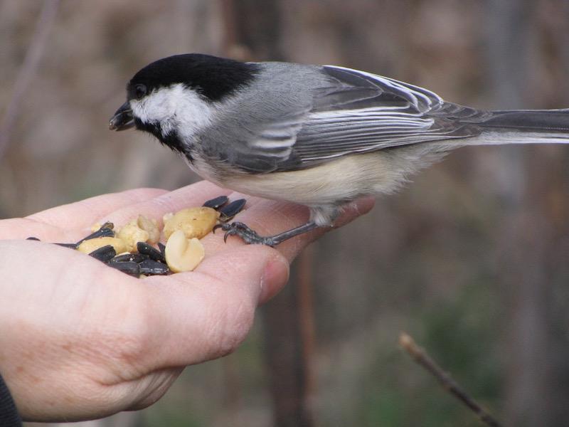 Hand-feeding a chickadee in Ottawa's Greenbelt.