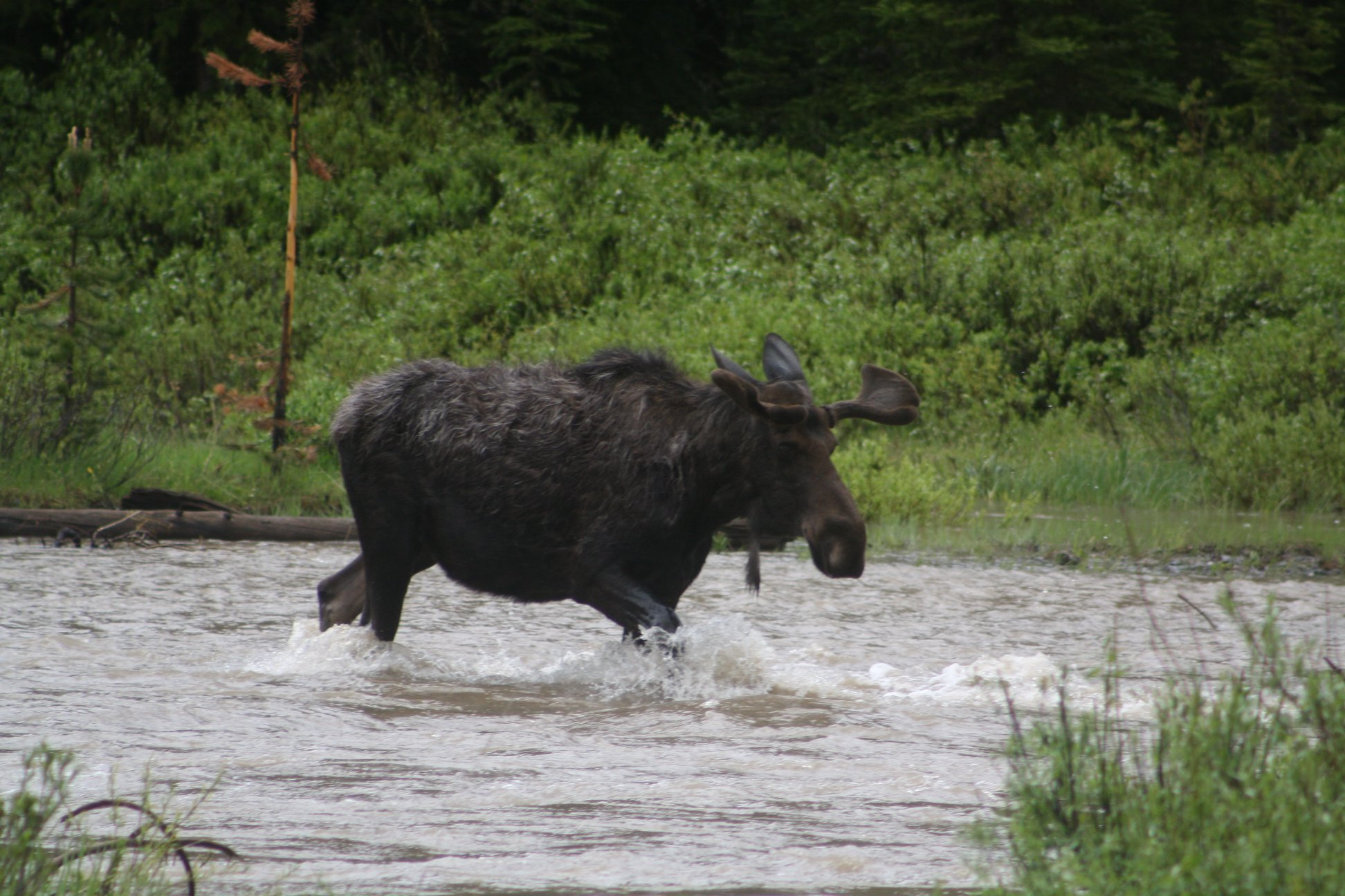 This is a moose at yellowstone. - I took this picture last year. Yellowstone might be my favorite place on Earth. Seems like pertinent information about me.