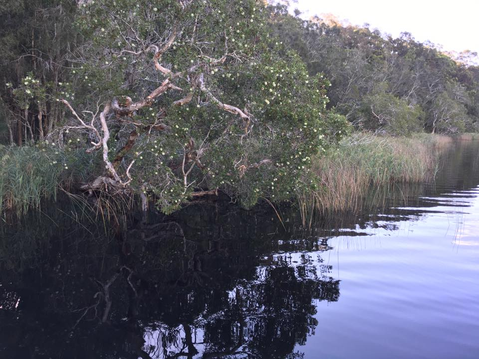 Myall Lakes Paperbark in flower.jpg