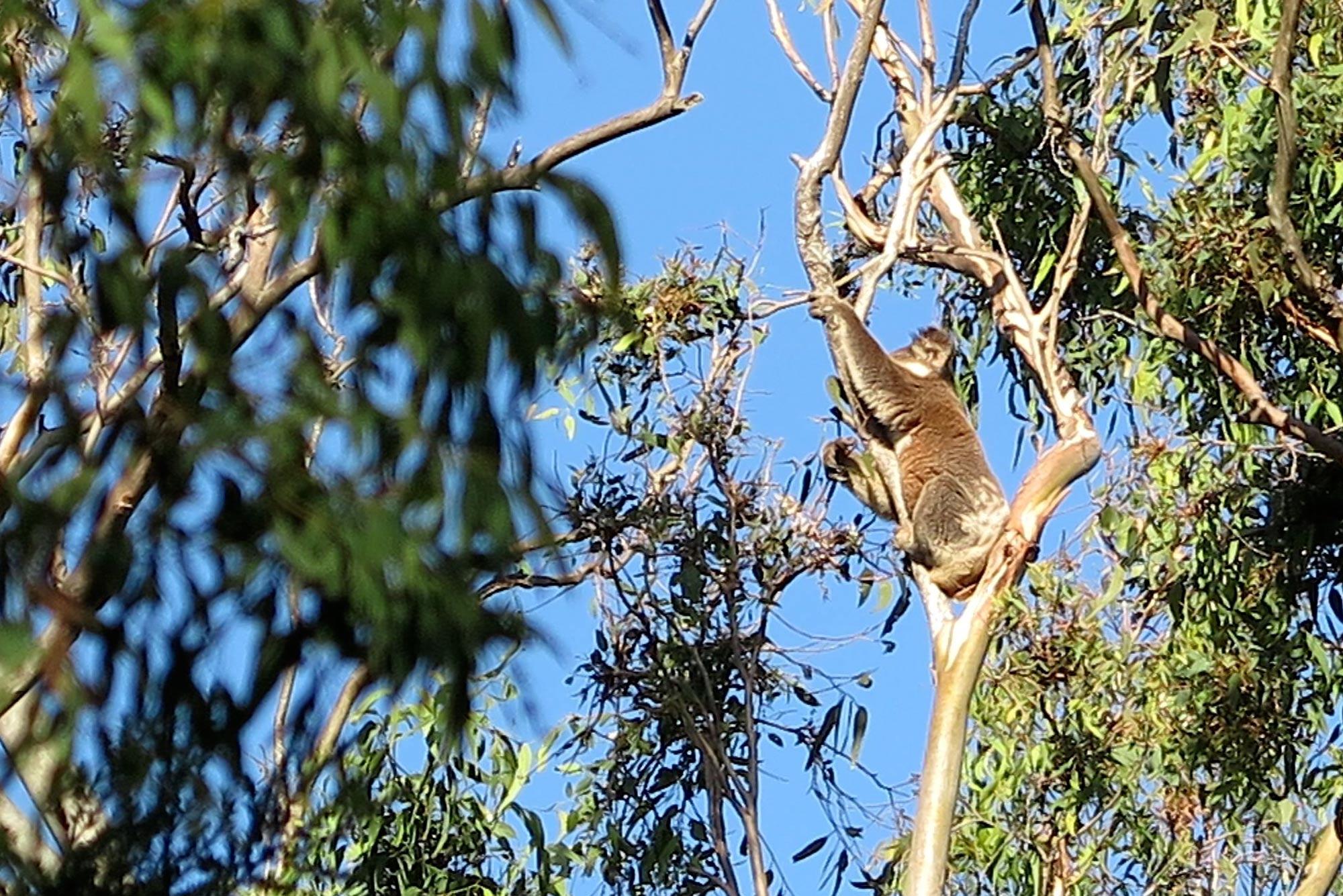 bombah-point-koala.jpg